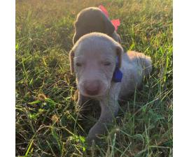 For Sale 10 Weimaraner puppies