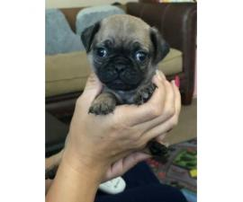 2 male pug puppies for sale