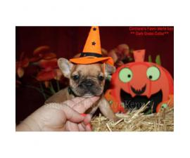 3 wonderful fawn Merle boys Akc french bulldog for Halloween