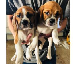 Puggle Puppies Male and Female