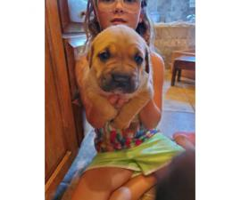 2 female Cane Corso puppies for sale
