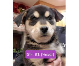 4 Rottweiler x Siberian husky puppies for Sale