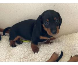 Mini Dacshund puppies Pet