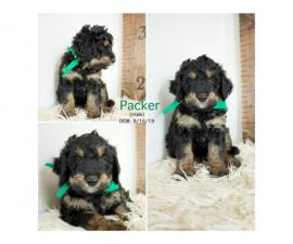 Only four left Bernedoodle puppies for sale