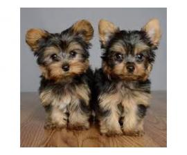 12 week old male Yorkie pup with gorgeous