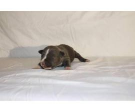 3 American Bully Puppies for Sale