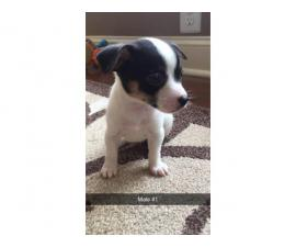 Chihuahuas - 2 males and 3 females available
