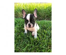 French bulldog puppies Full AKC Rights