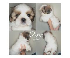 Shih Tzu pure breed puppies