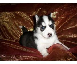 Siberian husky puppies for adoptionWWWWWWWW