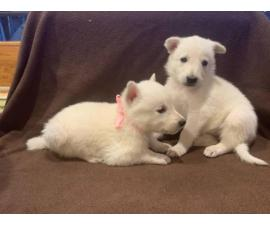 6 White German Shepherd Puppies for Sale
