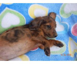 5 dachshund puppies for sale