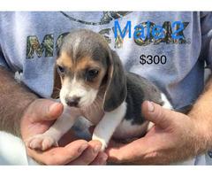 purebred beagle puppies for sale