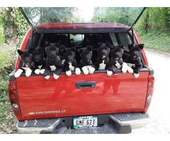 Purebred Akita puppies