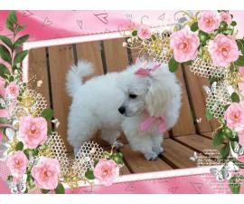 2 beautiful female toy poodle puppies for sale