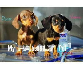 10 weeks old Miniature Dachshund puppies