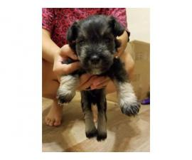 Schnauzer puppy for adoption only 1 left