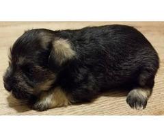 Schnauzer puppy for adoption only 1 left