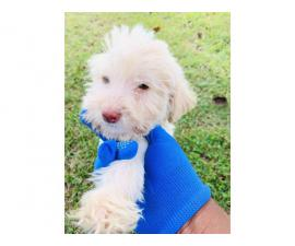 Male Labradoodle puppy for sale