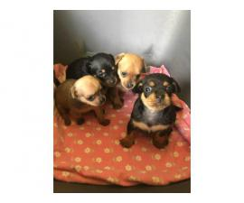 Four females Chihuahuas available