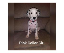 Dalmatian puppies 2 Females 4 Males available