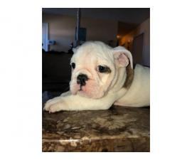 AKC registered English Bulldog puppies for sale