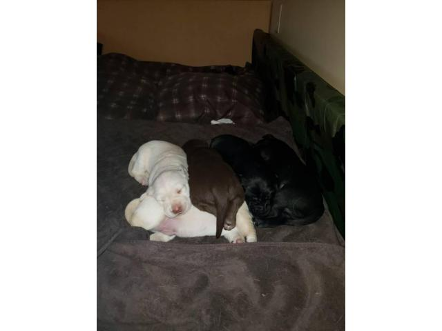 For Sale By Owner Colorado >> AKC Lab Puppies for Adoption in Wadena, Minnesota - Puppies for Sale Near Me