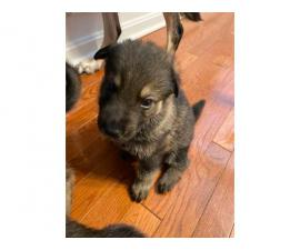 Five AKC registered German Shepherds available