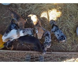 Seven playful Catahoula puppies for sale