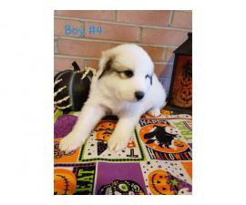 8 Great Pyrenees puppies ready to go