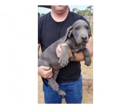 Blue Males Great Dane puppies for Sale