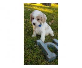 10 weeks old Cockapoo puppy
