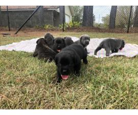 ICCF & AKC Cane Corso Puppies for Sale