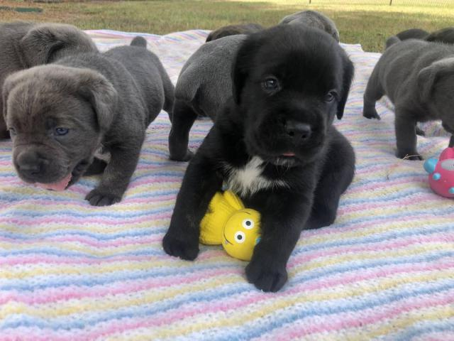 Iccf Amp Akc Cane Corso Puppies For Sale In Rocky Mount North Carolina Puppies For Sale Near Me