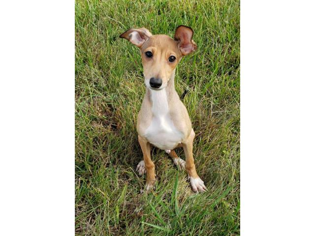 4 Months Old Italian Greyhound Puppies In Louisville Kentucky Puppies For Sale Near Me
