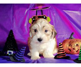 Little morkies (Maltese / Yorkies) puppies for sale