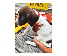 Female German pointer puppy for adoption