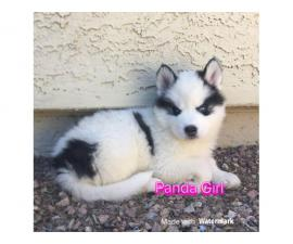 3 females Husky Puppies for Sale