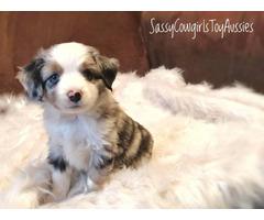 Blue Merle Aussie Puppies for sale