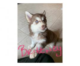 Two female huskies $400