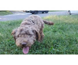 Mini schnauzer poodle mix puppy for sale
