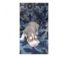 Siberian husky puppies double registered