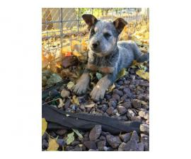 6 weeks old Blue Heeler puppies