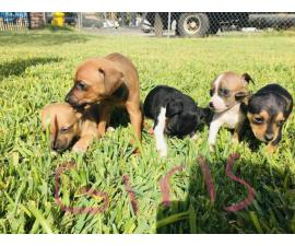 9 weeks old Chihuahua Dachshund Mix Puppies