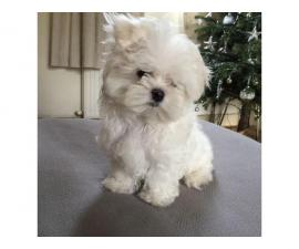 Meet our lovely Snow white Teacup Maltese Peanut!