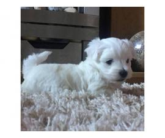 Meet our lovely Snow white Teacup Maltese Peanut!