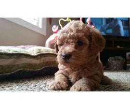 Adorable 2 red, 2 apricot and 2 black toy poodle puppies