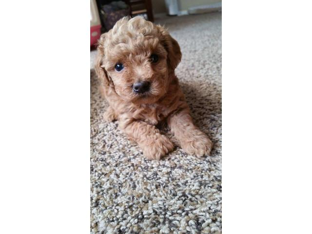 Adorable 2 Red 2 Apricot And 2 Black Toy Poodle Puppies In