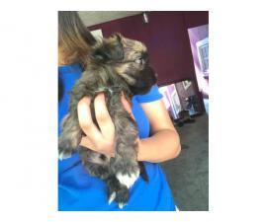 6 weeks old Maltese Yorkie mix puppy