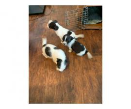 Shorkie Puppies 2 females and 1 male